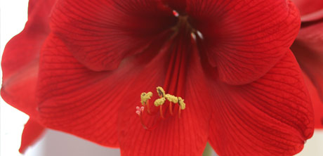 about-hippeastrum-image-4
