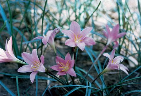 zephyranthus